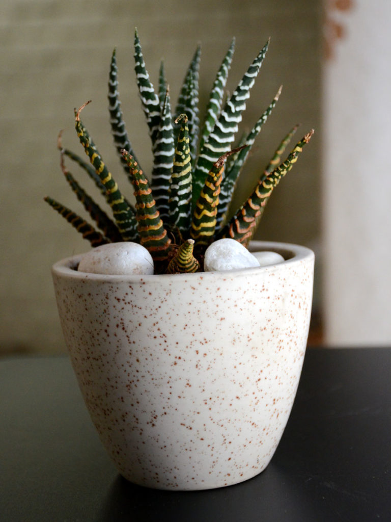 7 Succulent Types That Beautify Your Home from home-decor category